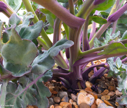 Colours of Kale