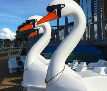 Swans awaiting